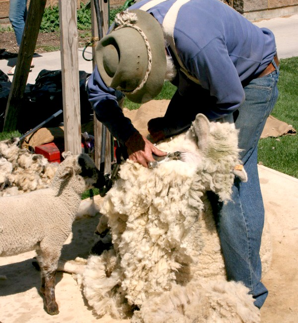 sheep shearer 10
